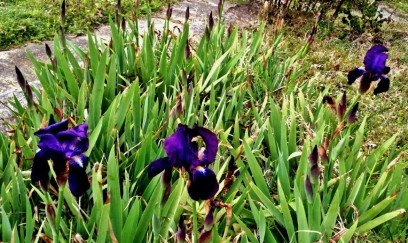 Irises. 7th Avenue South. March 9, 2013.